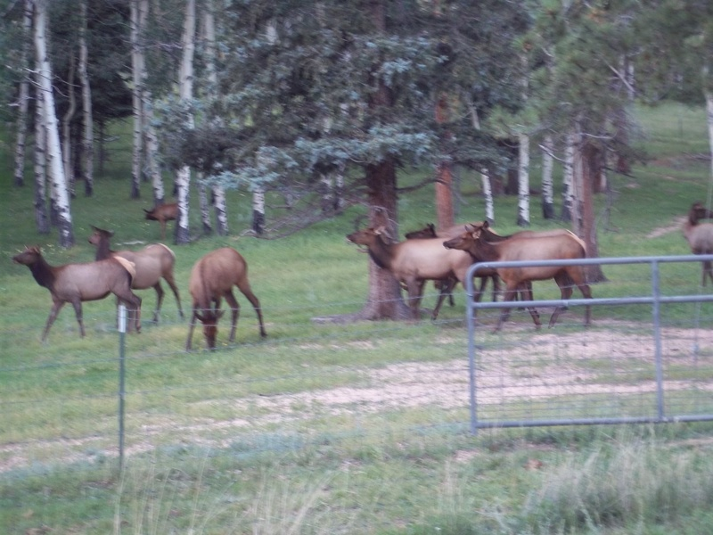 Elk on the  property